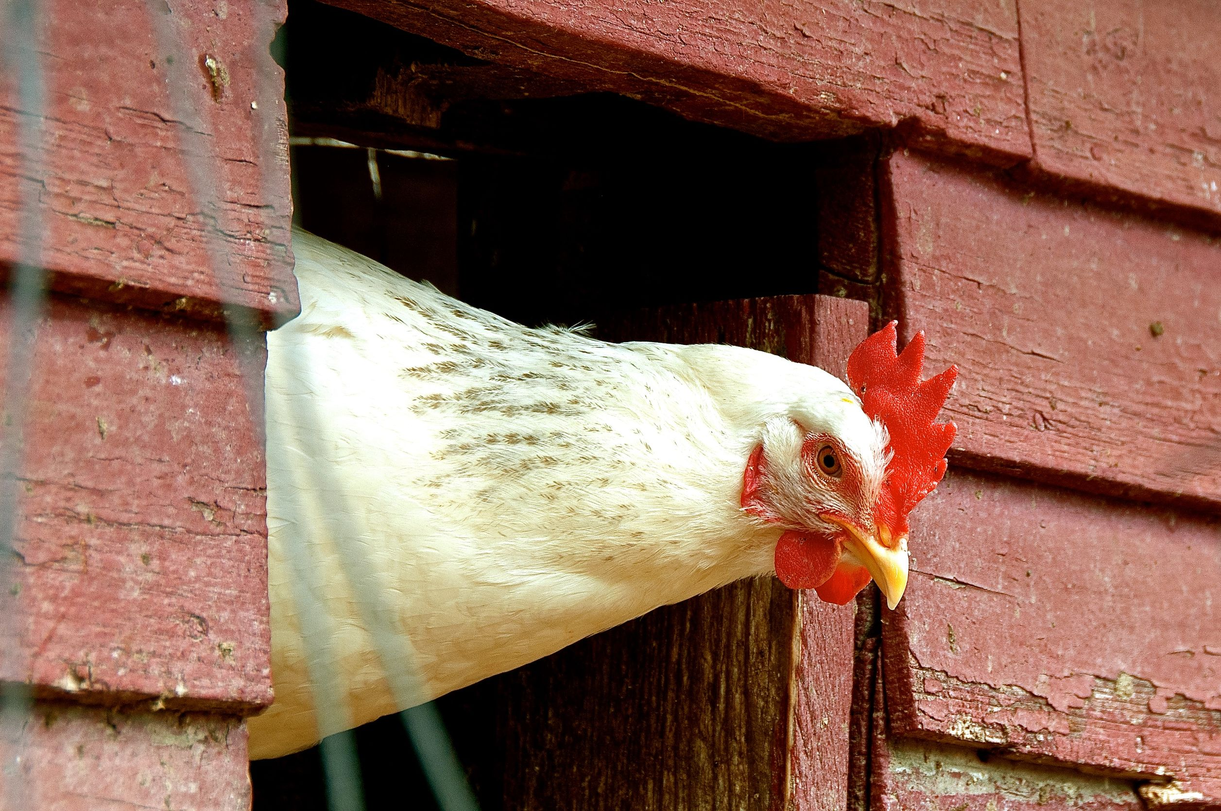 A hen looks out from the henhouse.